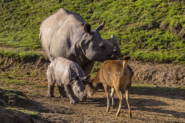 rhino-taj-san-diego-zoo-safari-park
