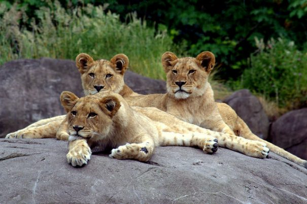 Oregon Zoo lions