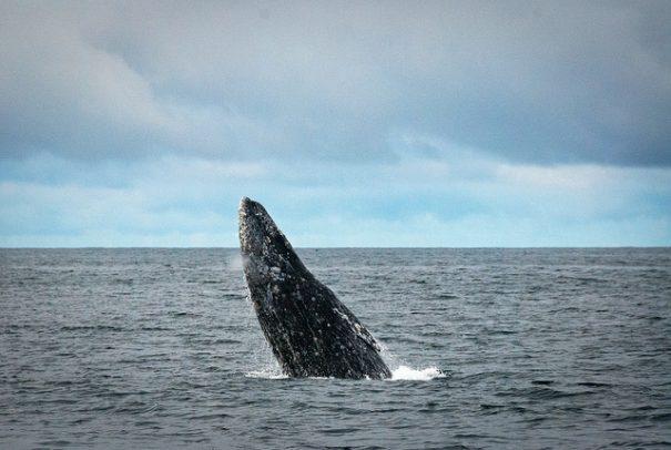 breaching-whale-cc-eric-neitzel-via-flickr