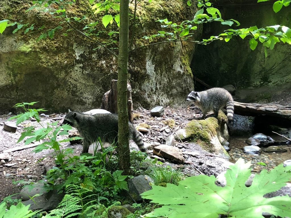 Raccoons at Northwest Trek
